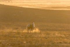 Wild Horse Stallion in the Utah Desert Sunset Royalty Free Stock Photos