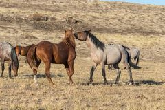 Wild Horse Stallions in the Desert. A pair of wild horse stallions facing off in the Utah desert royalty free stock photo