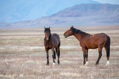 Wild Horse Stallions in the Desert. A pair of wild horse stallions  in the Utah desert Stock Image