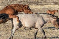 Wild Horse Stallions Facing Off in the Desert. A pair of wild horse stallions facing off in the Utah desert Royalty Free Stock Photos