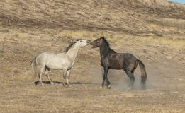 Wild Horse Stallions Facing Off. A pair of wild horse stallions fighting in the Utah desert royalty free stock images