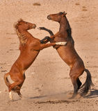 Wild horse stallions fighting. Herd in the Namib Desert; descendants from horses escaped from SA Cavalry during 1st World War; long limbs; barrel-shaped body Royalty Free Stock Image