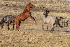 Wild Horse Stallions Fighting in the Desert. A pair of wild horse stallions fighting int he Utah desert stock images