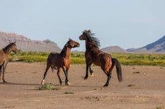 Wild Horse Stallions Fighting in the Desert. A pair of wild horse stallions fighting in the Utah desert in spring stock photos