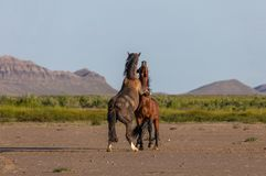 Wild Horse Stallions Fighting in the Desert. A pair of wild horse stallions fighting in the Utah desert in spring royalty free stock images