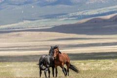 Wild Horse Stallions Fighting in the Desert. A pair of wild horse stallions fighting in the Utah desert royalty free stock image