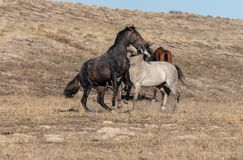 Wild Horse Stallions Fighting in the Desert. A pair of wild horse stallions fighting in the Utah desert royalty free stock photography