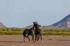 Wild Horse Stallions Fighting. A pair of wild horse stallions fighting in the Utah desert in spring royalty free stock photography