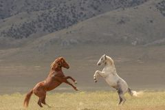 Wild Horse Stallions Fighting. A pair of wild horse stallions fighting in the Utah desert royalty free stock photo