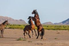 Wild horse Stallions Fighting. A pair of wild horse stallions fighting in the Utah desert in spring stock photos