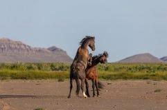 Wild horse Stallions Fighting. A pair of wild horse stallions fighting in the Utah desert in spring royalty free stock photos
