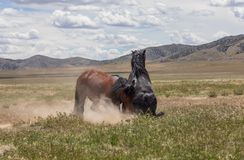 Wild Horse Stallions Fighting in Summer. A pair of wild horse stallions fighting in the Utah desert stock photos