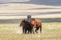 Wild Horse Stallions Fighting in Summer. A pair of wild horse stallions fighting in the Utah desert in summer royalty free stock photography