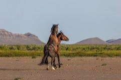 Wild horse Stallions Fighting in the Utah Desert. A pair of wild horse stallions fighting in the Utah desert in spring stock photos