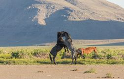 Wild Horse Stallions Fighting in the Utah Desert. In spring royalty free stock photography