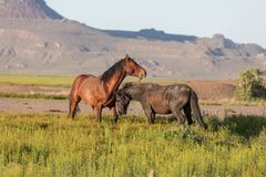 Wild Horse Stallions Sparring in Spring. Wild horse stallions fighting in the Utah desert in spring stock images