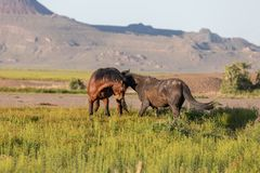 Wild Horse Stallions Sparring in Utah. Wild horse stallions fighting in the Utah desert in spring stock photos