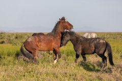 Wild Horse Stallions Sparring in Utah. Wild horse stallions fighting in the Utah desert in spring royalty free stock photos