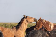 Wild Horse Stallions Fighting in the Utah Desert. In spring royalty free stock image