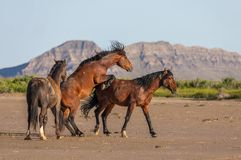 Wild Horse Stallions Fighting in Utah. A pair of wild horse stallions fighting in the Utah desert in spring royalty free stock photo