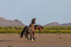 Wild Horse Stallions Fighting in Utah. A pair of wild horse stallions fighting in the Utah desert in spring stock photos