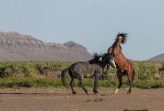Wild Horse Stallions Fighting in Utah. A pair of wild horse stallions fighting in the Utah desert in spring royalty free stock image