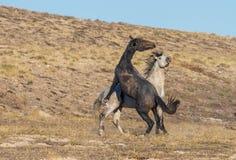 Wild Horse Stallions Fighting in Utah. A pair of wild horse stallions fighting int he Utah desert stock photo