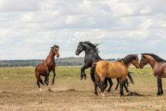 Wild Horse Stallions Fighting in Utah. A pair of wild horse stallions fighting in the Utah desert royalty free stock image