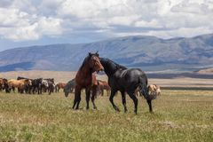 Wild Horse Stallions Fighting in Utah. A pair of wild horse stallions fighting in the Utah desert stock image