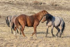 Wild Horse Stallions. A pair of wild horse stallions facing off in the Utah desert Royalty Free Stock Photos