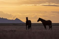 Wild Horse Stallions Silhouetted at Sunset. A pair of wild horse stallions silhouetted in a beautiful Utah desert sunset Royalty Free Stock Images