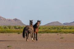 Wild horse Stallions Sparring in the Desert. A pair of wild horse stallions fighting in the Utah desert in spring stock images