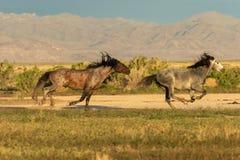 Wild Horse Stallions Sparring in the Desert. A pair of wild horse stallions fighting in the Utah desert stock image