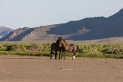 Wild Horse Stallions Sparring. A pair of wild horse stallions fighting int he Utah desert in spring royalty free stock photo
