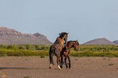 Wild horse Stallions Sparring. A pair of wild horse stallions fighting in the Utah desert in spring stock photos