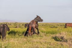 Wild Horse Stallions Sparring in Spring. Wild horse stallions fighting in the Utah desert in spring stock image