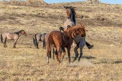 Wild Horse Stallions Sparring in the Utah Desert. A pair of wild horse stallions fighting int he Utah desert royalty free stock photos
