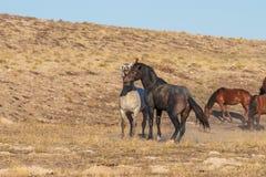 Wild Horse Stallions Sparring in the Utah Desert. A pair of wild horse stallions fighting int he Utah desert stock photo