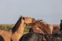 Wild Horse Stallions Sparring in the Utah Desert. Wild horse stallions fighting in the Utah desert in spring stock images