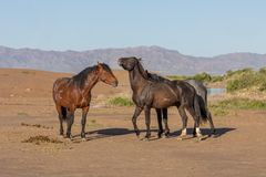 Wild Horse Stallions Sparring in the Utah Desert. Wild horse stallions fighting in the Utah desert in spring royalty free stock images