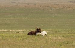 Wild Horse Stallions Sparring in Utah. A pair of wild horse stallions fighting in the Utah desert royalty free stock photography
