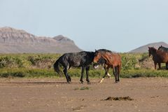 Wild Horse Stallions Sparring in Utah. A pair of wild horse stallions fighting in the Utah desert in spring royalty free stock photo