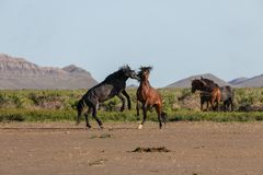 Wild Horse Stallions Sparring in Utah. A pair of wild horse stallions fighting in the Utah desert in spring stock photo