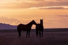 Wild Horse Stallions at Sunset in the Desert. A pair of wild horse stallions silhouetted in a Utah desert sunset Royalty Free Stock Photography