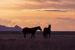 Wild Horse Stallions at Sunset. A pair of wild horse stallions silhouetted in a Utah desert sunset Royalty Free Stock Photos