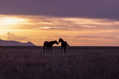 Wild Horse Stallions at Sunset. A pair of wild horse stallions silhouetted in a Utah desert sunset Stock Image
