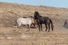 Wild Horse Stallions in the Utah Desert. A pair of wild horse stallions fighting in the Utah desert stock photography