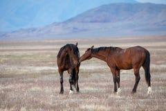 Wild Horse Stallions in the Utah Desert. A pair of wild horse stallions  in the Utah desert Royalty Free Stock Photos