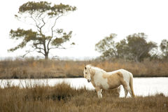 Wild horse stands in marsh grasses on Assateague Island, Marylan Stock Photography