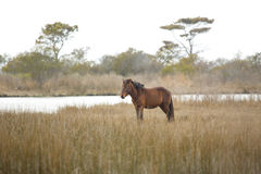 Wild horse stands in marsh grasses on Assateague Island, Marylan Royalty Free Stock Photo
